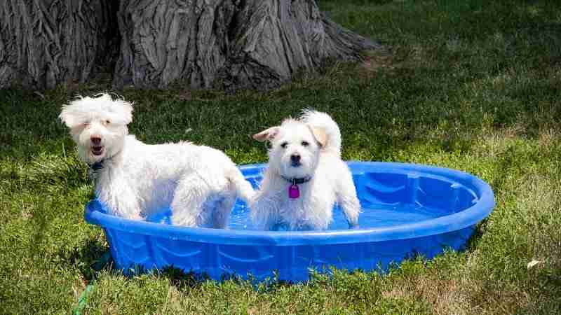 Terrier mix dogs playing in small wading pool on hot summer day.